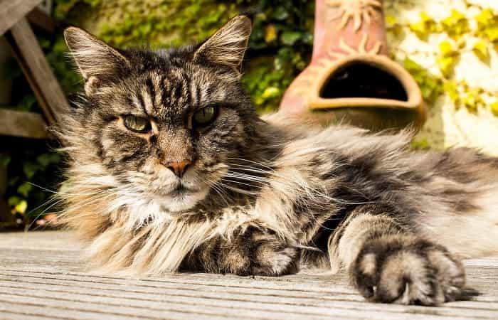 Races de chats à poils longs